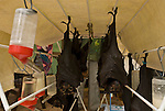 Tolga Bat Hospital -Spectacled Flying Fox(Pteropus conspicillatus)