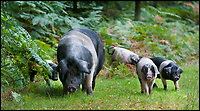 BNPS.co.uk (01202 558833)<br /> Pic: PhilYeomans/BNPS<br /> <br /> Get oink my land...Pannage pigs attack rambler.<br /> <br /> A rambler has spoken of his shock after being attacked by a group of pigs at a New Forest beauty spot.<br /> <br /> The four young porkers charged Paul Lipscombe, a retired photography lecturer, as he strolled close to Mill Lawn, near Burley.<br /> <br /> The stunned 64-year-old was bitten by the lead animal, then as he backed off the others continued advancing on him.<br /> <br /> Then, while composing himself following the attack, he witnessed the same group of pigs, each as big as a medium-sized dog, charge two young women across a small river.<br /> <br /> During the pannage season pigs are released into the New Forest to eat up the acorns that can be poisonous to the ponies.