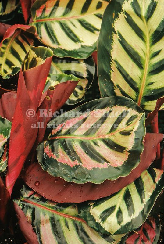 17296-CU Calathea, houseplant, Calathea 'Cora' roseopicta tender perennial from Brazil, in April at Santa Paula, CA USA