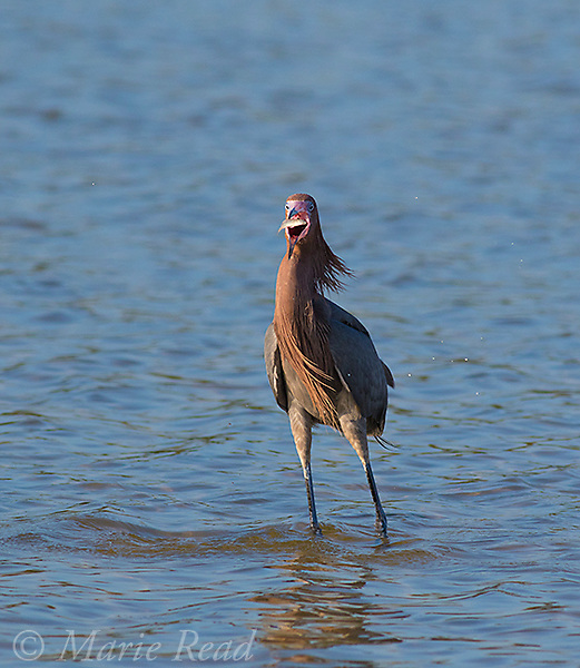 Reddish Egret (Egretta rufescens) dark morph, breeding plumage, swallowing fish, Fort De Soto Park, Florida, USA