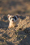 A black-footed ferret in a burrow in Buffalo Gap National Grasslands, South Dakota.
