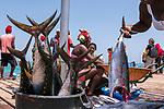 Cabo Verde, Kaap Verdie, KaapVerdie, sal kaapverdie santa maria 2017<br /> Santa Maria, officieel  is een plaats in het zuiden van het Kaapverdische eiland Sal met 6.272 inwoners. Met de opkomst van het toerisme heeft de plaats bekendheid gekregen en is het toerisme de voornaamse inkomstenbron<br /> Kaapverdië, dat behoort tot de geografische regio Ilhas de Barlavento<br />   foto  Michael Kooren<br /> strand Santa Maria  beach boats, fish, fishing, vis steiger, verse vis, vis verkoop , fish sale , fresh fish, tuna, tunafish, marlin head