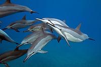 Hawaiian spinner dolphin, Stenella longirostris longirostris, Kona Coast, Big Island, Hawaii, USA, Pacific Ocean