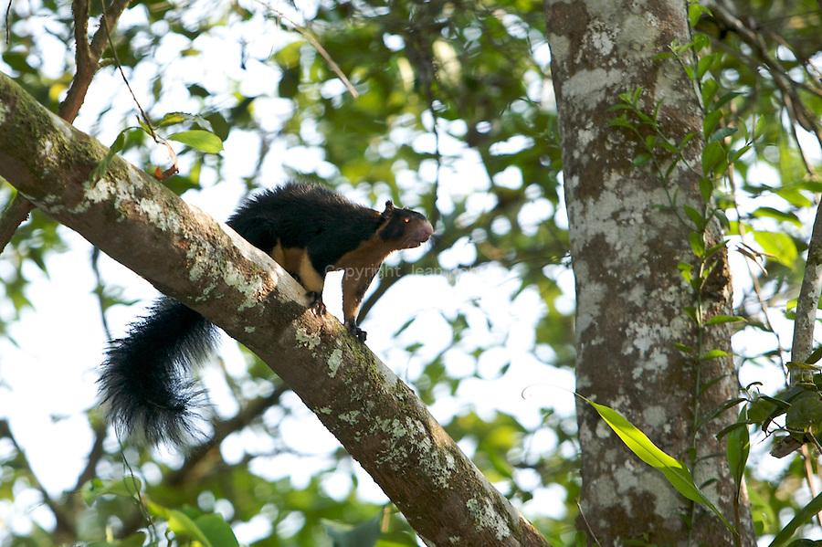 L'Écureuil géant de Ceylan [1] ou Écureuil géant gris [1] (Ratufa macroura)