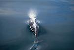 Dall porpoise, Alaska
