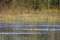 Northern Pintail (Anas acuta) ducks.  Pacific Northwest.  Winter.