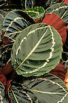 17297-CU Calathea, houseplant, Calathea roseopicta tender perennial from Brazil, in April at Santa Paula, CA USA