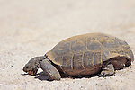 Desert Tortoise Licking Salt