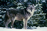 Gray wolf (Canis lupus) in fresh winter snow.