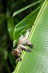 Long-tailed Macaque (Macaca fascicularis) juvenile climbing down leaf, Tawau Hills Park, Sabah, Borneo, Malaysia