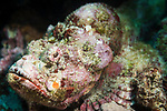 Puerto Galera, Oriental Mindoro, Philippines; a devil scorpionfish hidden amongst the coral reef