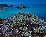 California Lilac, Greenwood Cove State Park, Town of Elk, Mendocino County Coast, California