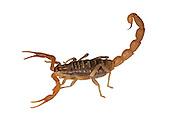 Mediterranean Chequered Scorpion - Mesobuthus gibbosus