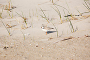 Piping Plover - Charadrius melodus - at Hampton Beach State Park during the spring months. Located in Hampton, New Hampshire USA