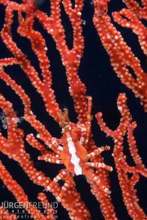 Spider crab, Xenocarcinus conicus on sea fan