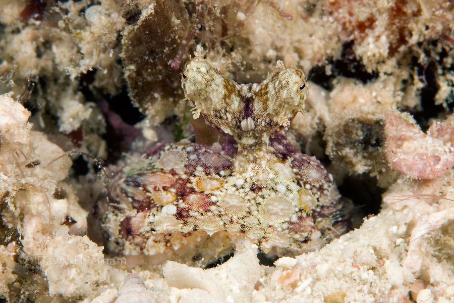 A juvinile veined octopus, Octopus marginatus, Malaysia.