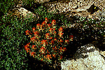 CA: Yosemite National Park, flora, wildflower, Indian Paint Brush          .Photo Copyright: Lee Foster, lee@fostertravel.com, www.fostertravel.com, (510) 549-2202.cayose220