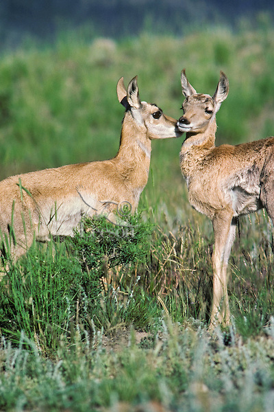 Two Pronghorn antelope fawns greeting eachother.  Western U.S., June.