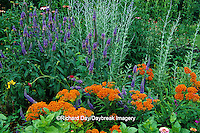 63821-05615 Butterfly Milkweed (Asclepias tuberosa), Blue Veronica (Veronica sp.), Knautia Macedonica, Russian Sage (Perovskia Atriplicifolia) in flower garden, Marion Co., IL
