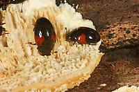 Rotfleckiger Faulholzkäfer, Pilzkäfer, Tritoma bipustulata, Erotylid beetle, Erotylidae, Erotylid beetles