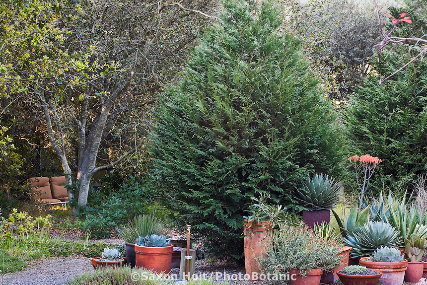 Thuja plicata 'Emerald Cone', Western Red Cedar, California native evergreen conifer tree