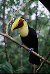 Toucan perched on a branch, Costa Rica