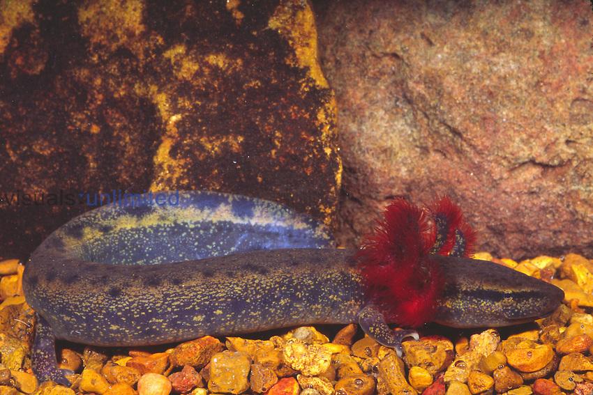 Mudpuppy (Necturus maculosus), Lake Michigan, Illinois, USA.
