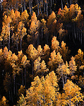 Autumn aspens, Mt. Nebo, Beartrap Ridge, Wasatch Mountains