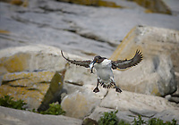 A thin billed Common Murre, bridled morph,in flight with wings out ready for landing with a fish in it's beak.