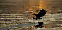 White-tailed eagle, Haliaeetus albicilla, diving for fish, sunset silhouette, Norway coast, Nr Trondheim.