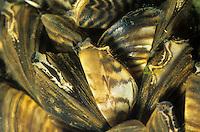 Wandermuschel, Zebramuschel, Dreikantmuschel, Wandermuscheln, Zebramuscheln, Dreikantmuscheln, Süßwassermuschel, Dreissena polymorpha, zebra mussel, zebra mussels, freshwater mussel