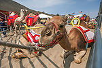 Camels wait for races at the 56th annual International Camel &amp; Ostrich Races in Virginia City, Nev. on Friday, Sept. 11, 2015. <br /> Photo by Cathleen Allison