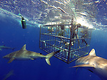 HALEIWA, OAHU - MAY 14:  Winter Sport Athletes Julia Mancuso, Jamie Anderson, Kaya Turski, Chris Benchetler Sage Kotsenburg, and Travis Rice dive in a shark cage with Galapagos Sharks during the GoPro Athlete Summit on May 14, 2014 at the Turtle Bay Resort in Haleiwa, Oahu, Hawaii.  (Photo by Donald Miralle for ESPN the Magazine)