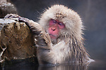 Japan, Japanese Alps, snow monkey in hot spring
