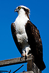 Osprey of Orange County