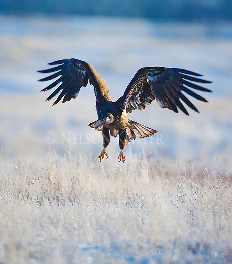 An immature bald eagle spreads its wings as it lands in frost covered grass on a winter morning in Montana