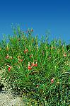 5804-CA Desert Willow, Chilopsis linearis `Burgundy', at Rancho Santa Ana Botanical Garden, Claremont, CA