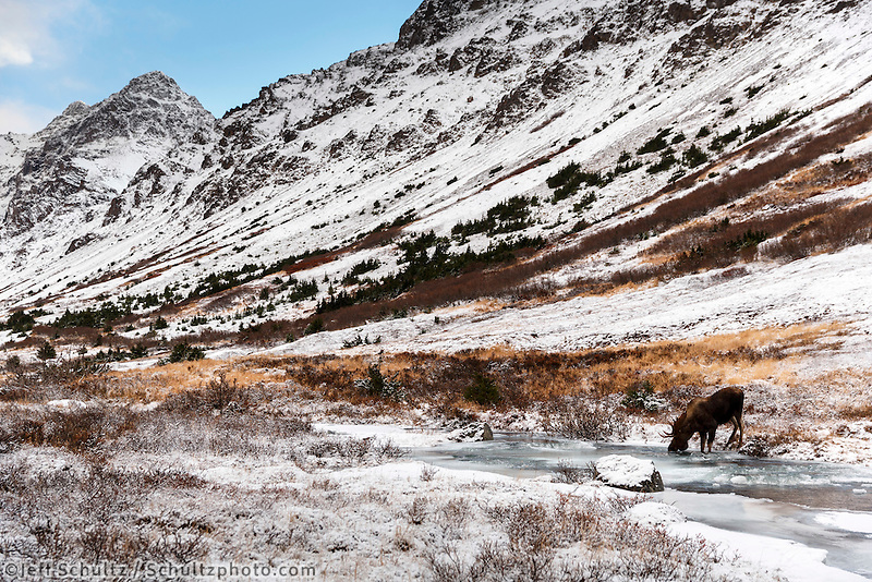 Bull moose along South Fork of Campbell creek with Chugach Mountains in Chugach State Park. Glenn Alps area of Anchorage, Alaska   November 2016<br /> <br /> Photo by Jeff Schultz/SchultzPhoto.com  (C) 2016  ALL RIGHTS RESVERVED
