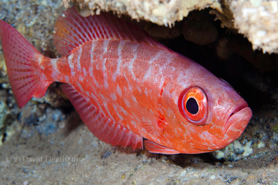 A common bigeye snapper, glasseye or 'aweoweo' in Hawaiian, Heteropriacanthus cruentatus, photographed in a cavern during the day Hawaii.