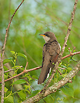 Yellow-billed Cuckoo in a tree overlooking the water, as I kayaked a Missouri conservation area.