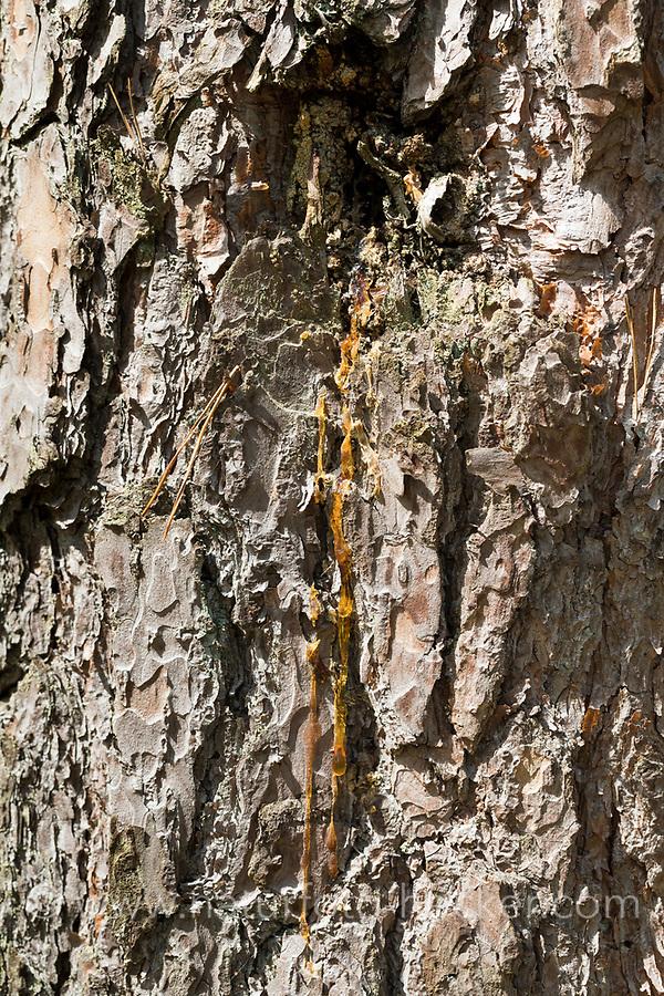 Kiefernharz, Kiefern-Harz, Baumharz, Harz, Harzernte, Harz sammeln, liquid pitch, tree gum, galipot, gallipot. Wald-Kiefer, Waldkiefer, Gemeine Kiefer, Kiefern, Föhre, Pinus sylvestris, Scots Pine, Le Pin sylvestre