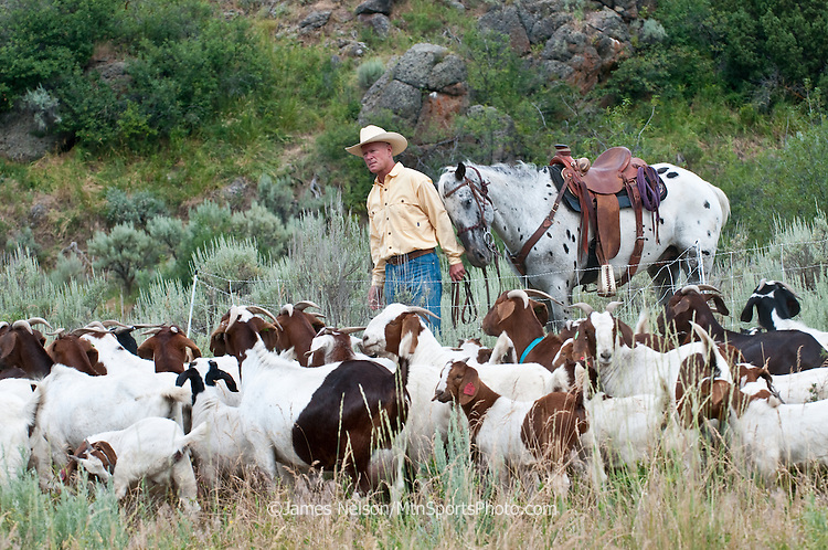 With a nudge from his horse Gus, Mark Harbaugh (Patagonia fly fishing representative and goat rancher) herds his chemical-free noxious weed control crew into a temporary pen to graze on a patch of leafy spurge in east Idaho.