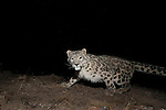 Snow Leopard (Panthera uncia) at night, Sarychat-Ertash Strict Nature Reserve, Tien Shan Mountains, eastern Kyrgyzstan