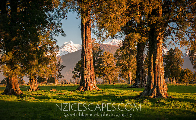 Kahikatea grove under setting sun on farmland near Fox Glacier with Southern Alps in background, Westland Tai Poutini National Park, West Coast, New Zealand, NZ