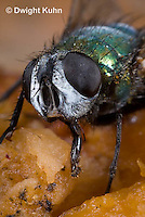 1F10-509z  Green Bottle Fly close-up of face, compound eyes, lapping tongue, eating pumpkin fruit, Lucilia sericata