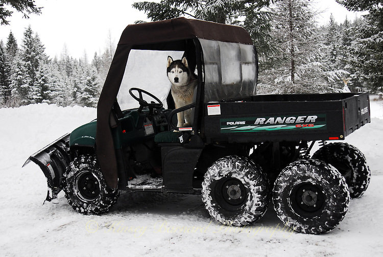 Siberian Husky behind the wheel of a Polaris Ranger 6X6. photos of siberian huskies, husky photos, pictures of siberian huskies, best photos of huskies, best photos of siberian huskies