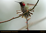 Anna's Hummingbird, Male Display, Descanso Gardens, Southern California