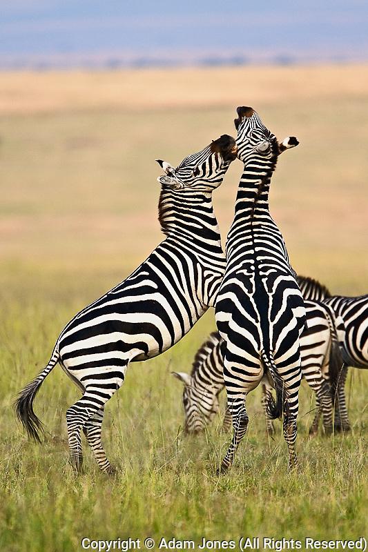 Burchell's Zebra stallions fighting, Masai Mara, Kenya, Africa.Equus burchelli