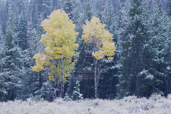 Aspen Trees, Snowstorm, Grand Teton NP,Wyoming, September 2005