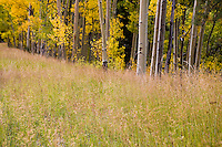 Autumn grasses in meadow with aspen (Populus tremuloides) at Big Tesuque Trail, Santa Fe National Forest, New Mexico